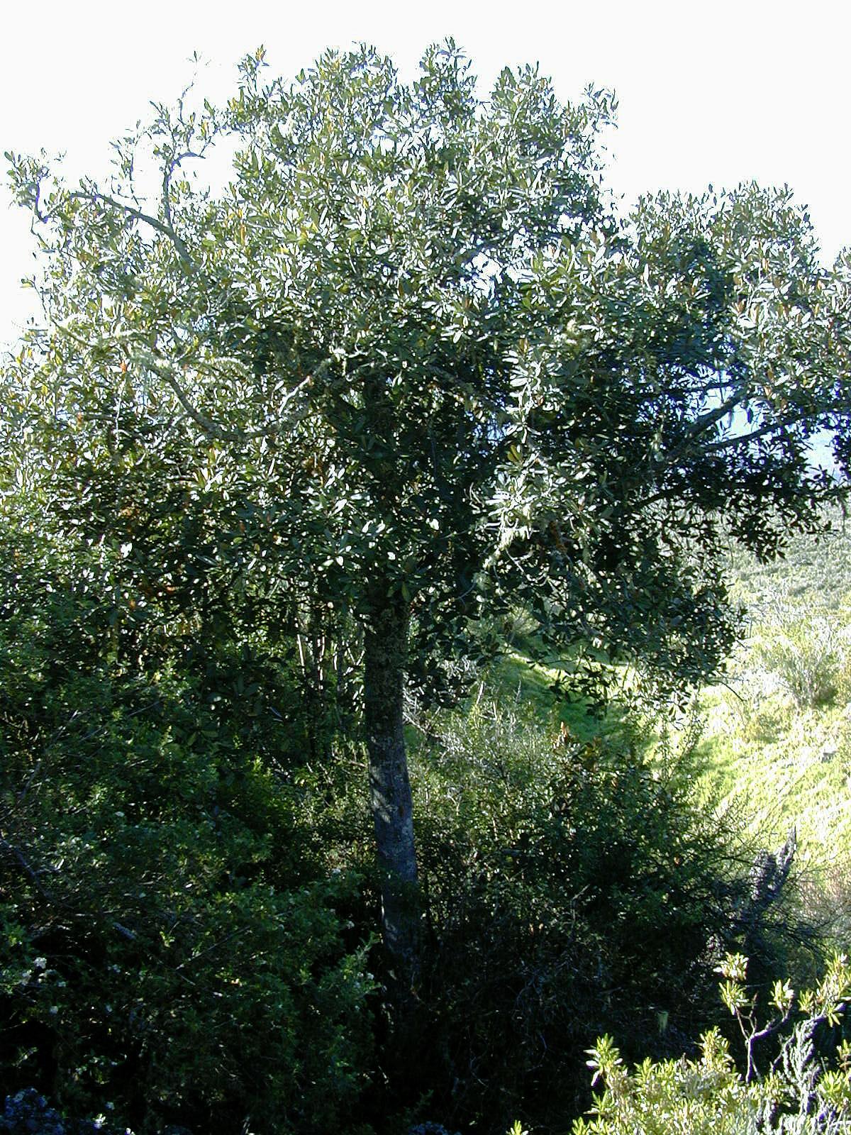 Дерево анегри